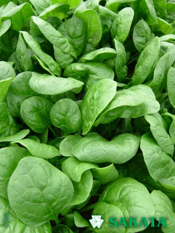 sakata-spinach-apollo_jpg